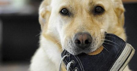 hond met schoen