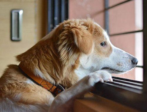 Kans op verlatingsangst hond na corona-crisis